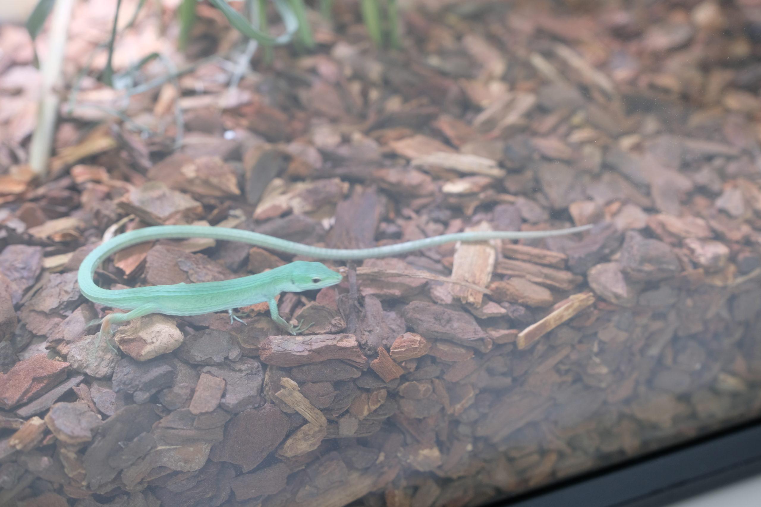ミヤコカナヘビの展示会に行ってきました♪
